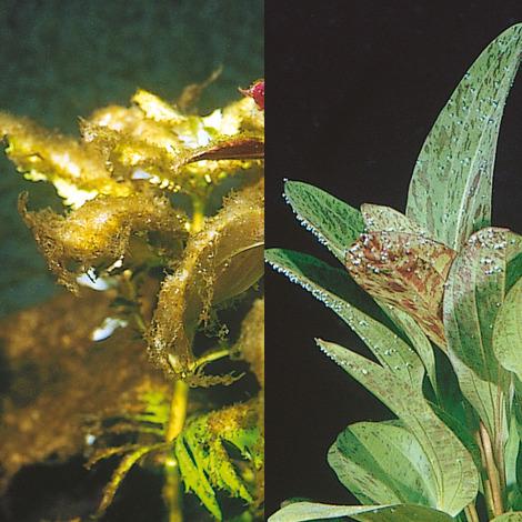 JBL Algol 100 ml - Wasseraufbereiter zur Bekämpfung von Algen in Süßwasser-Aquarien