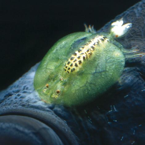 JBL ArguPond Plus 5 l - Heilmittel gegen Karpfenläuse und Ankerwürmer