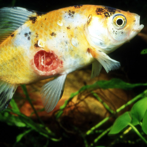 JBL Ektol bac Pond Plus 2,5 l - Heilmittel gegen Bakterien und Flossenfäule